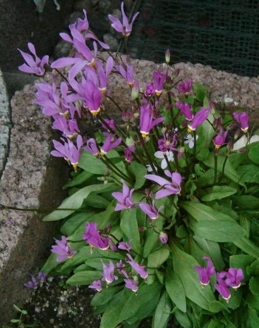 Gattung Primula - Primeln, Aurikeln, Schlüsselblumen Primul17
