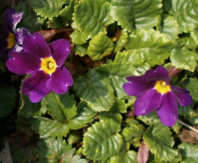 Gattung Primula - Primeln, Aurikeln, Schlüsselblumen Primul18