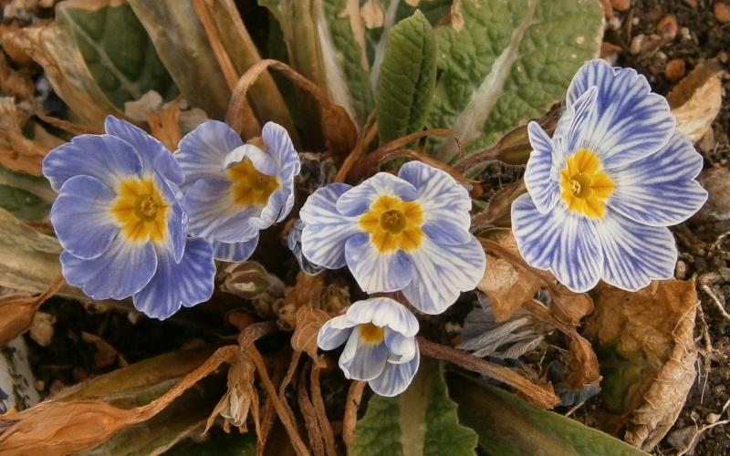 Gattung Primula - Primeln, Aurikeln, Schlüsselblumen - Seite 2 Primul19