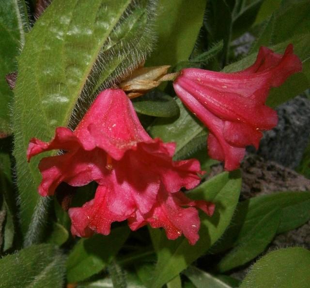 Rhododendron Rhodod13