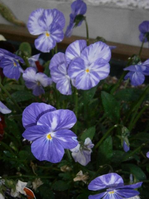 Viola - Veilchen aller Art Viola_14