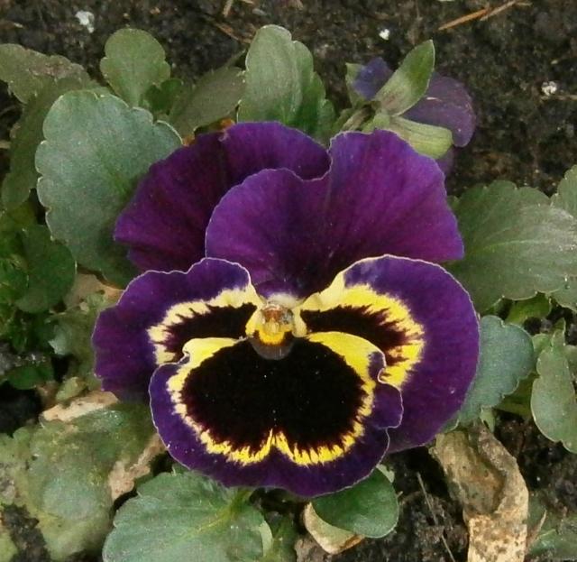 Viola - Veilchen aller Art Viola_21