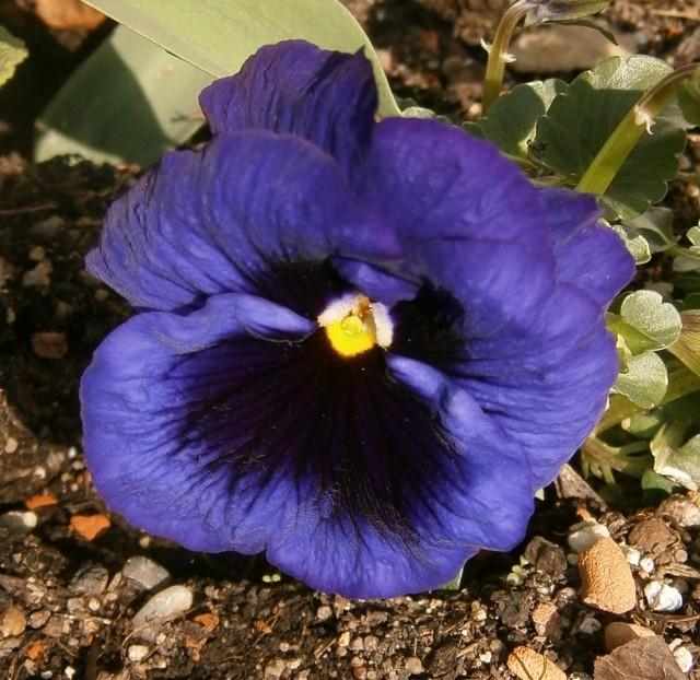 Viola - Veilchen aller Art - Seite 2 Viola_23