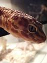 probleme avec geckos femelle de 4 ans ,Help please Dscf1210