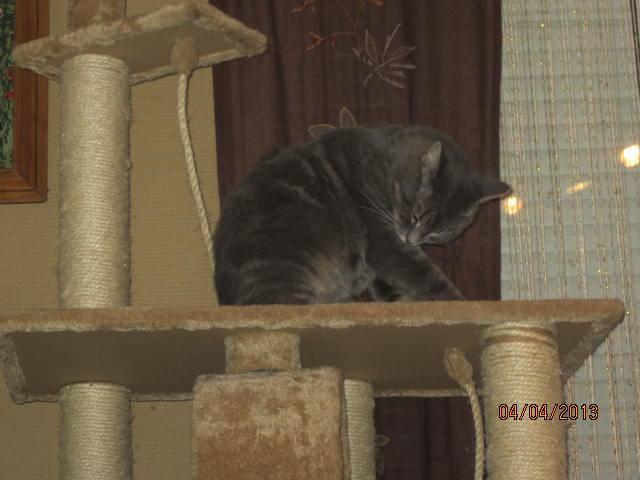 Freluge - grise tabby - Née en 2009, FIV + 10001610