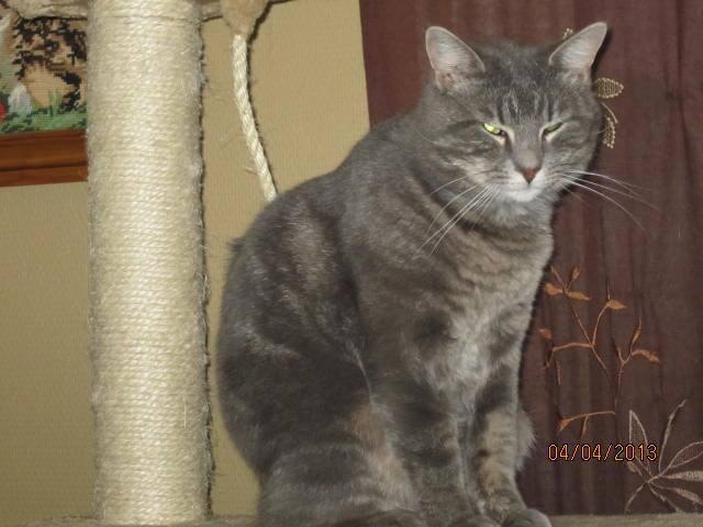 Freluge - grise tabby - Née en 2009, FIV + 10052510