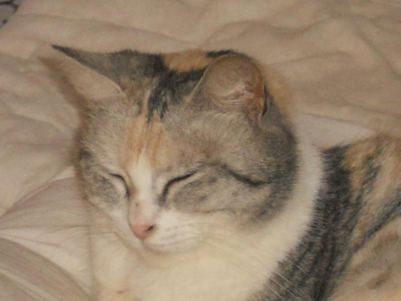Helga - Magnifique minette trico aux couleurs originales - née le 01/01/2011 est adoptée dans le 80 10134110