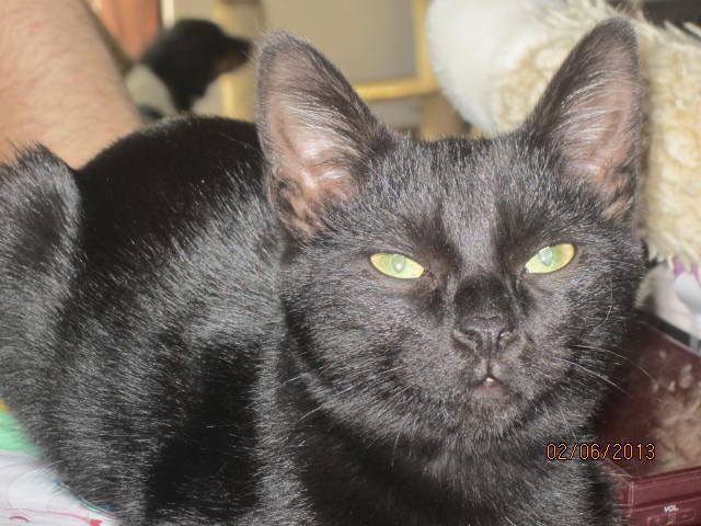 Noiraud - noir yeux verts né en 2013 10450010