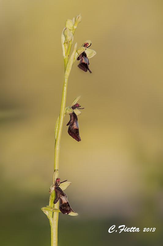 Ophrys Dsc_0815