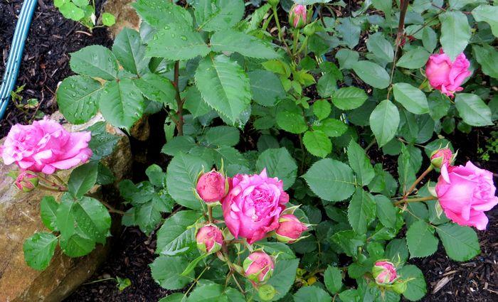rosa bienvenue - Page 3 Bienve12