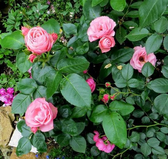 rosier bouquet de mariée Bouque13