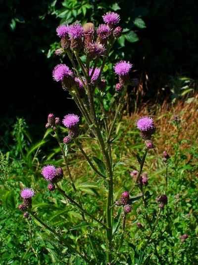 site pour identifier plante Cirsiu10