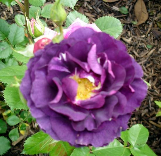 rosa mystérieuse - Page 3 Dsc05453
