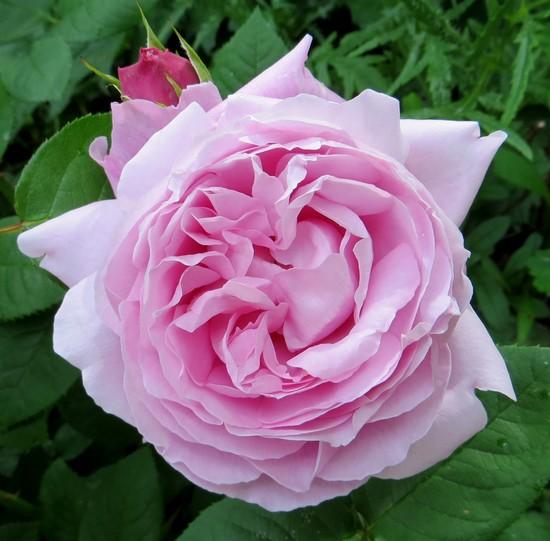 Rosa Mary Rose  Mary_r11