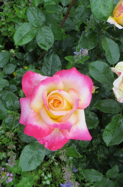 rosa pullman orient express Pullma12