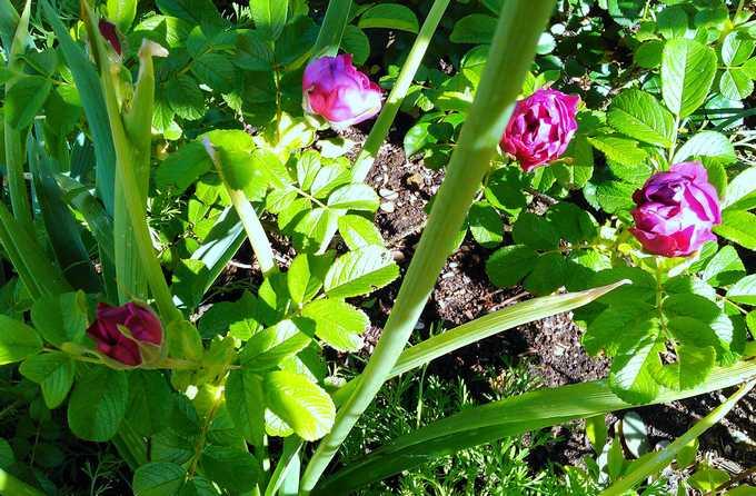 rosier souvenir de trélazé - Page 4 Souven10