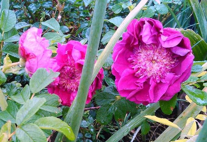 rosier souvenir de trélazé - Page 4 Souven12