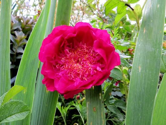 rosier souvenir de trélazé - Page 5 Souven13
