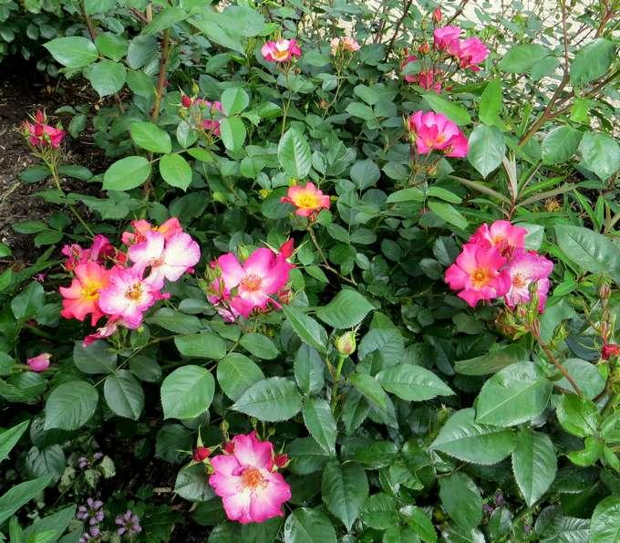Rosa 'Yann Arthus Bertrand' !!! - Page 2 Y_arth10