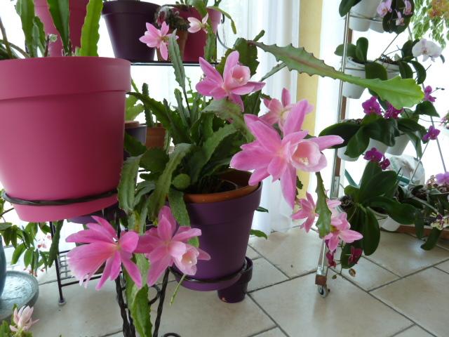 Disocactus phyllanthoides - cactus-orchidée 00111
