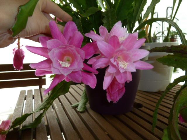 Disocactus phyllanthoides - cactus-orchidée 00114