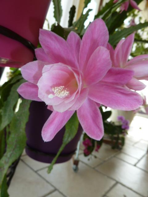 Disocactus phyllanthoides - cactus-orchidée 00211