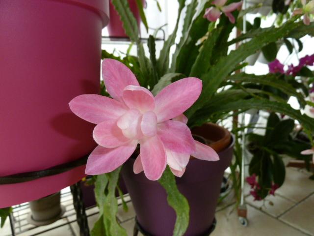 Disocactus phyllanthoides - cactus-orchidée 00410