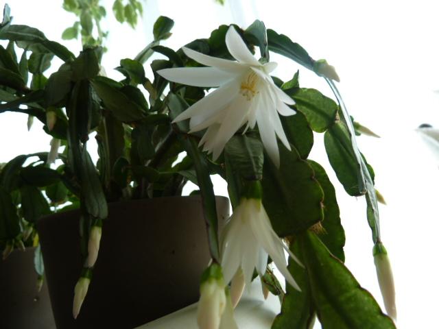 Hatiora rosea (= Rhipsalidopsis) - cactus de Pâques  - Page 2 00910