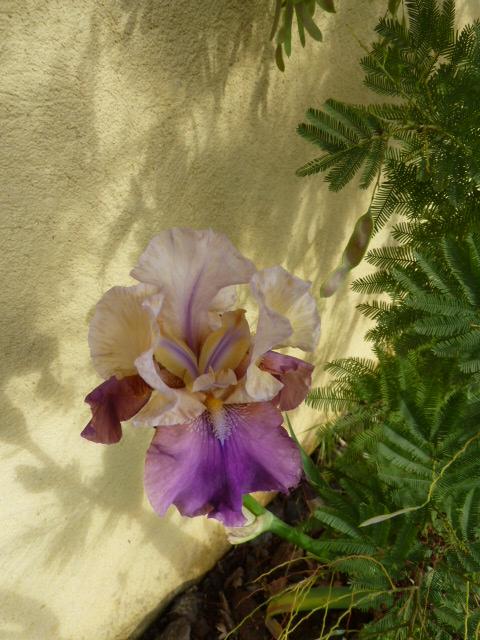 Floraisons de nos Iris barbus 2013 01710