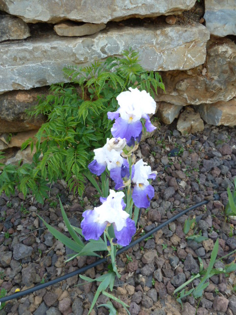 Floraisons de nos Iris barbus 2013 01911