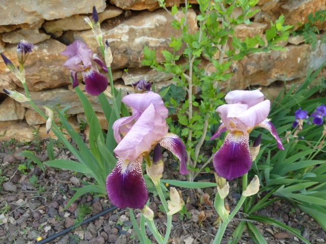 Floraisons de nos Iris barbus 2013 02010