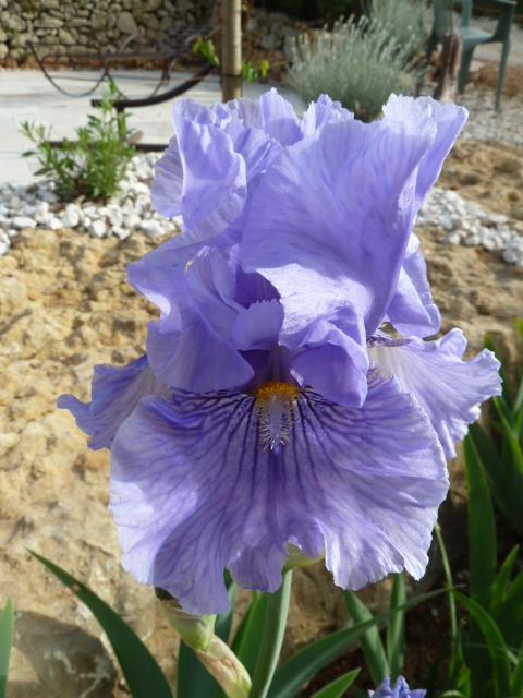 Floraisons de nos Iris barbus 2013 02210