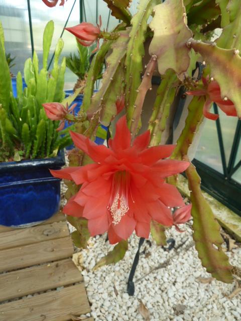 Disocactus ackermannii 02410