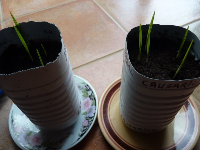 semis de palmiers P1020616