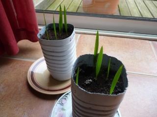 semis de palmiers P1030316
