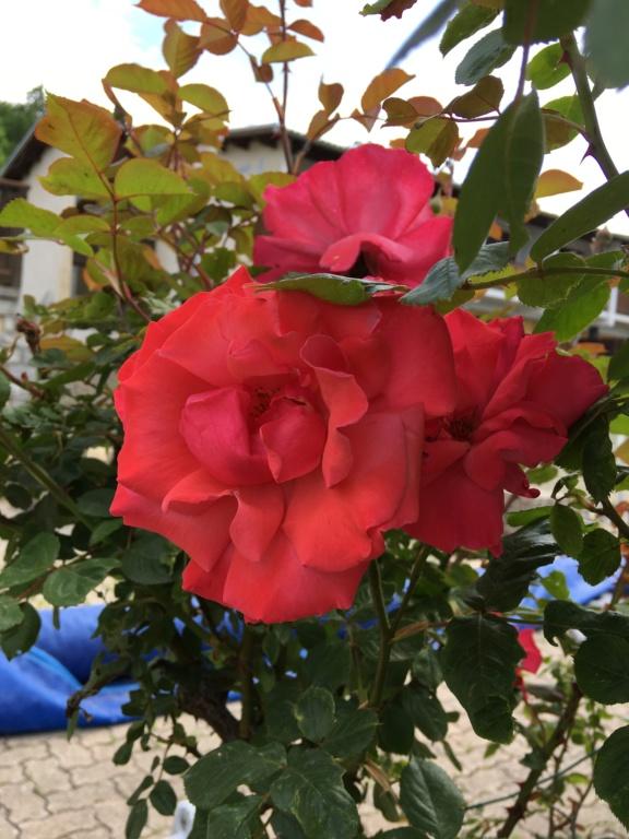 La couleur des roses... 2019-060