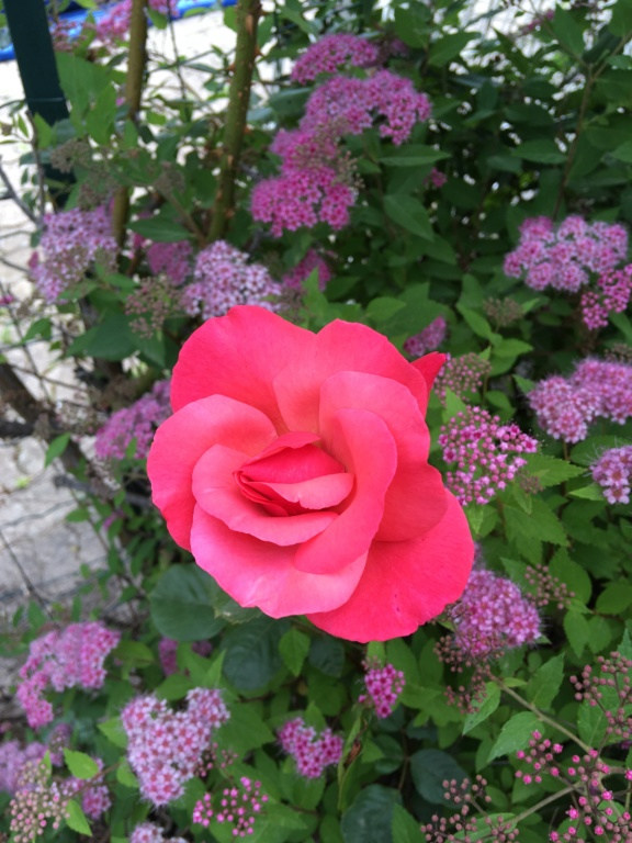La couleur des roses... 2019-061