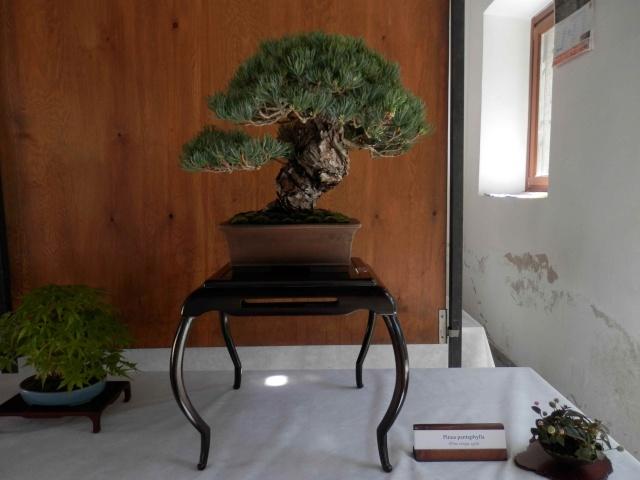 Mostra Brianza Bonsai a monticello 5011
