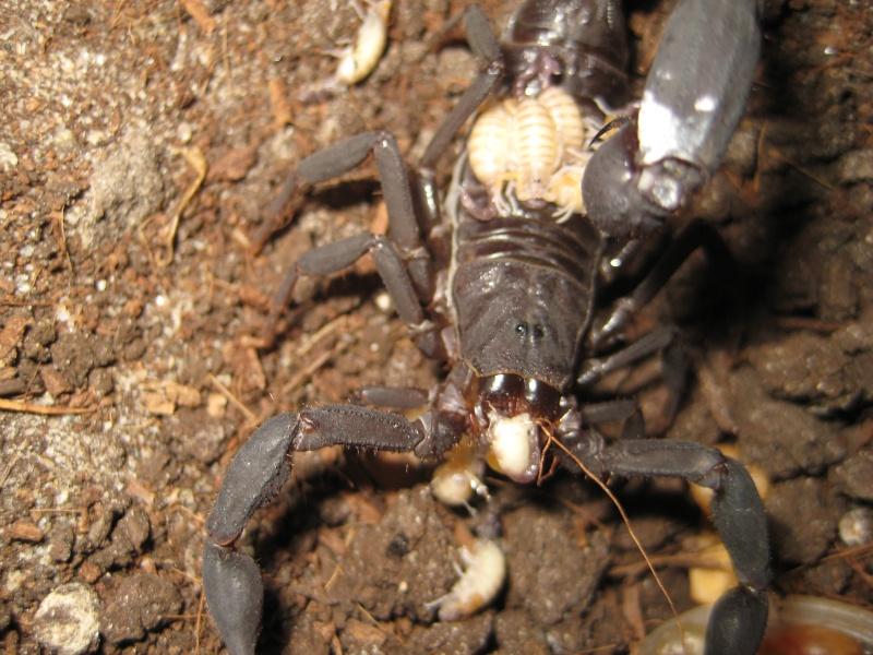 Grosphus Grandidieri Brood Scorpi11