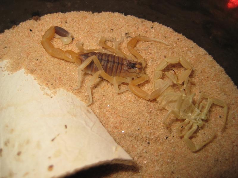 Let's talk about Leiurus quinquestriatus morphs Scorpi17