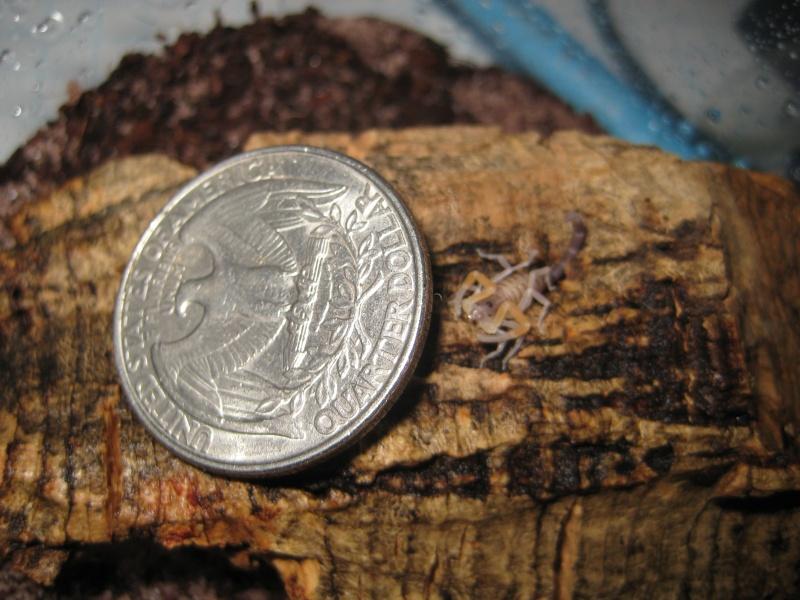 Grosphus Grandidieri Brood Scorpi23
