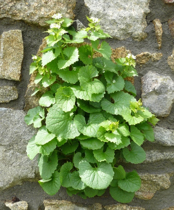 Alliaria petiolata - alliaire Alliai10