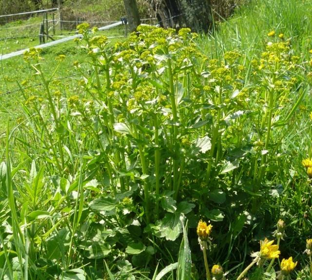 Barbarea vulgaris - barbarée commune Barbar10