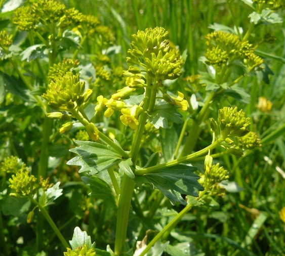 Barbarea vulgaris - barbarée commune Barbar11