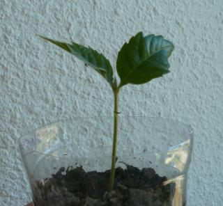 semis d'Eriobotrya japonica - néflier du Japon ou bibacier Nef10