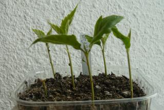 semis d'Eriobotrya japonica - néflier du Japon ou bibacier Nefl_210