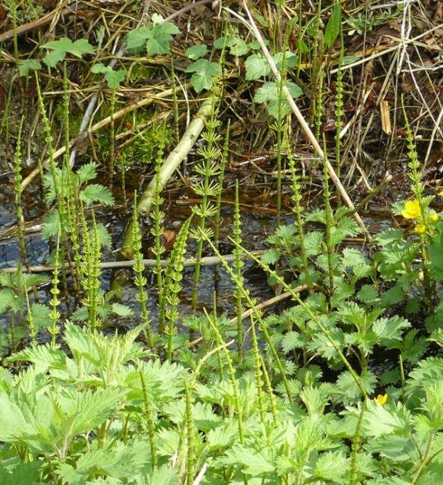 flore des sources et fontaines P_m10