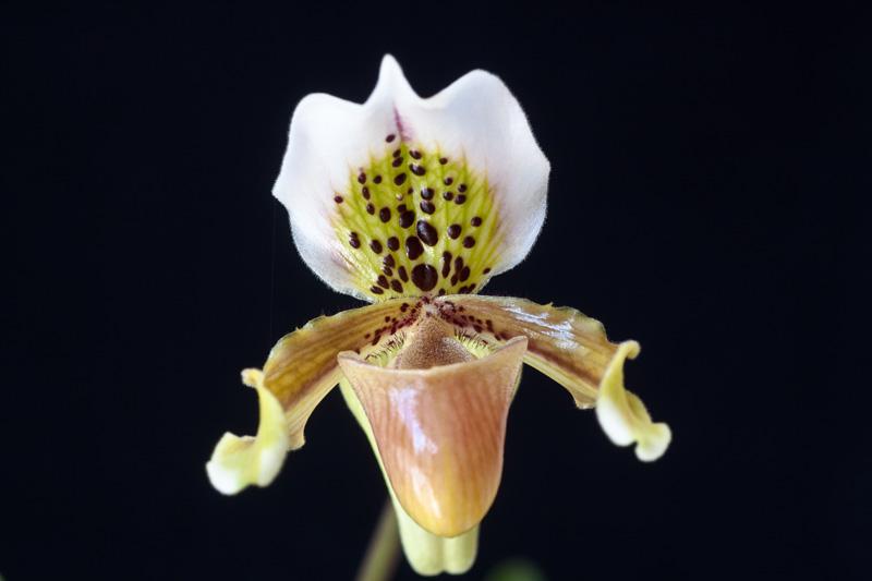 Paphiopedilum exul Paphio11
