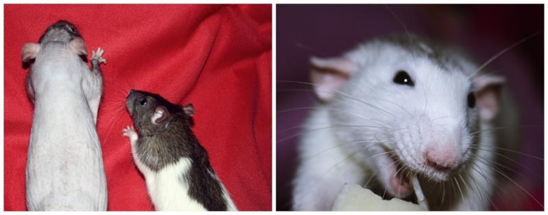 Les Hoop & Rats Cats17