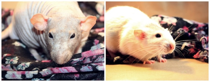 Les Hoop & Rats Cats18